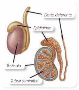 genitali