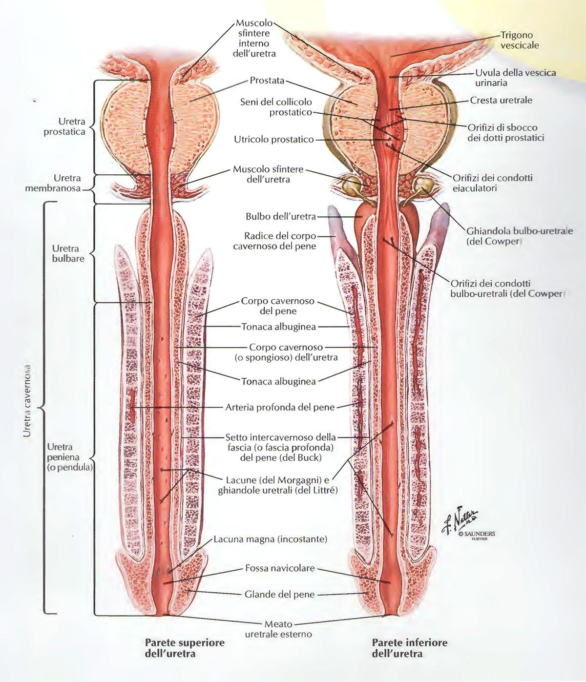 Uretra parte superiore e parte inferiore
